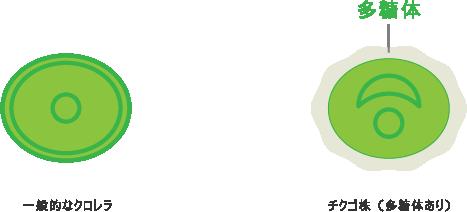 一般的なクロレラとチクゴ株(多糖体あり)の比較